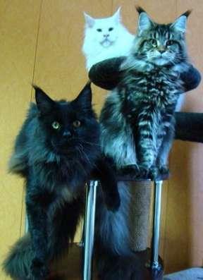 Продам котенка Мэйн Кун