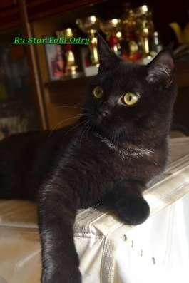 Шотландская черная кошечка
