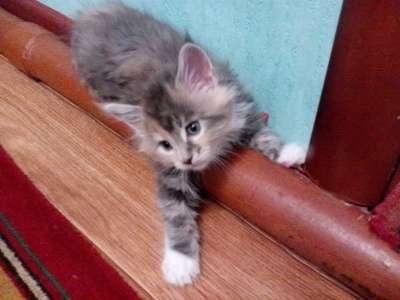 котята МЕЙН-КУН в Липецке Фото 5