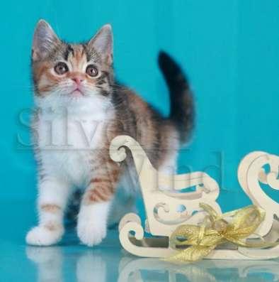 Кошечка - скоттиш страйт в Хабаровске Фото 2
