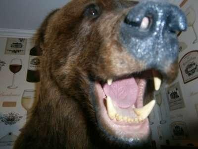 Чучело головы бурого медведя в Новосибирске Фото 1