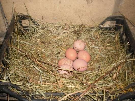 Яйца домашние куриные диетические в Туле Фото 5