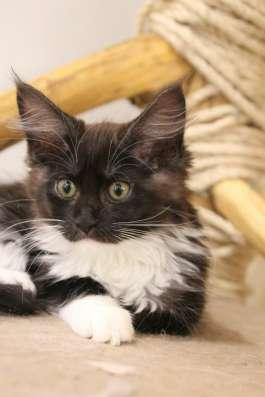 Котята Мейн Кун в г. Самара Фото 5