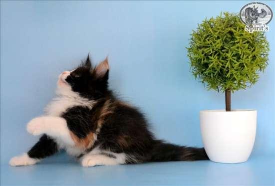 Яркие котята породы мейн-кун