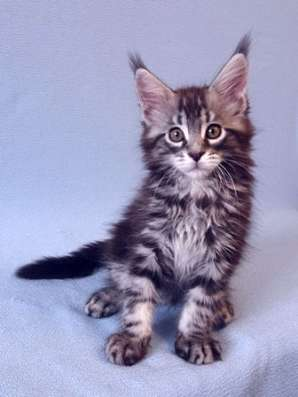 Котик Мейн-Кун в Перми Фото 1