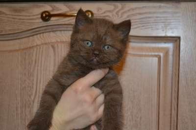 шотландские котята в Клине Фото 3