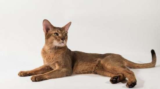 Купите титулованного абиссинского кота в разведение