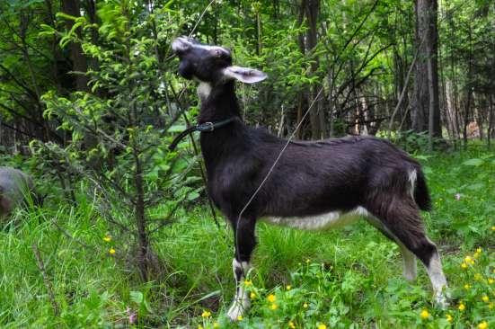 Продам или обменяю красивого комолого козла