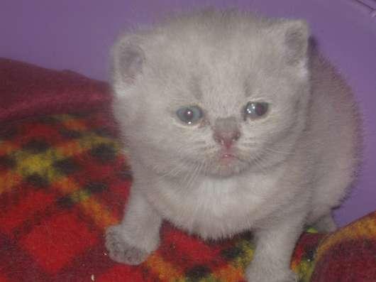 Клубные подрощенные котята