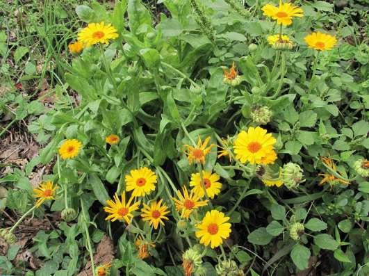 Продаю цветки и семена календулы(ноготки)